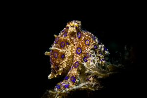 NUDI RETREAT 1,2, 3 (Estrecho de Lembeh) - North Sulawesi Lembeh Indonesia
